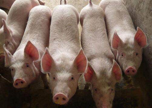 疫情下的养猪业:物资调运仍有不畅,新建在建产能进程放缓