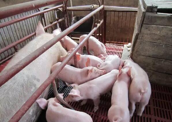 简单又实用,可提升新生仔猪活力和改善母猪泌乳力
