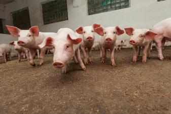 官方数据:现在养一头猪可赚2354元,养一只鸡亏5.13元
