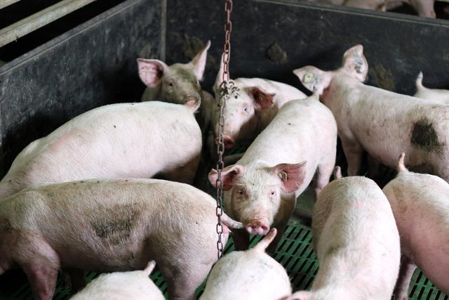 21日12省猪价下跌,仔猪2000一头,现在补栏还有钱赚吗?答案来了