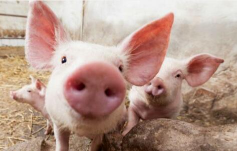 猪产业指数半月涨幅高达31% 今年猪价还能继续看好吗?