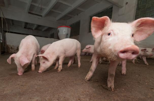 """猪场免疫程序制定""""十大原则""""之第六原则:季节性原则"""
