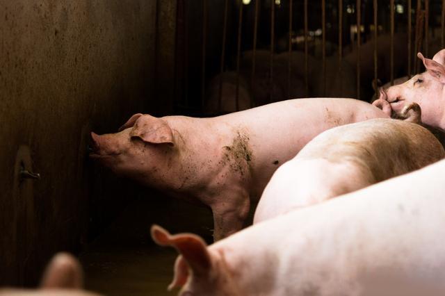 养猪把好这八关,一百天能出栏