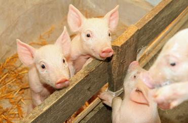 仔猪价格高涨 养殖企业与养殖户积极补栏