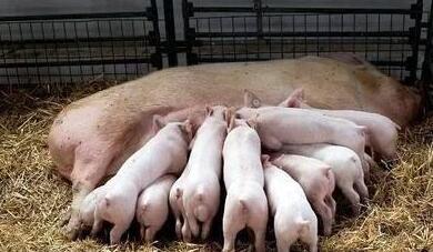 产仔多的母猪后代也产仔多吗?如何才能让母猪多产仔?