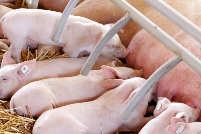 培育后备母猪需注意的四大要素,你知道怎么做吗,做到了没?