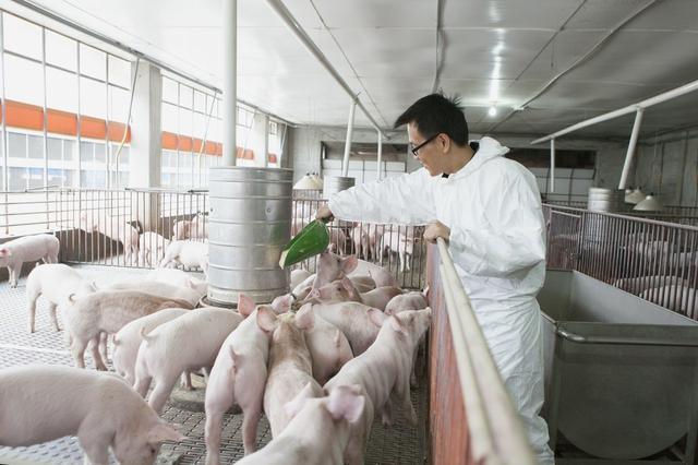 为何猪场发病的猪那么多?看完文章,你就知道该怎么解决了