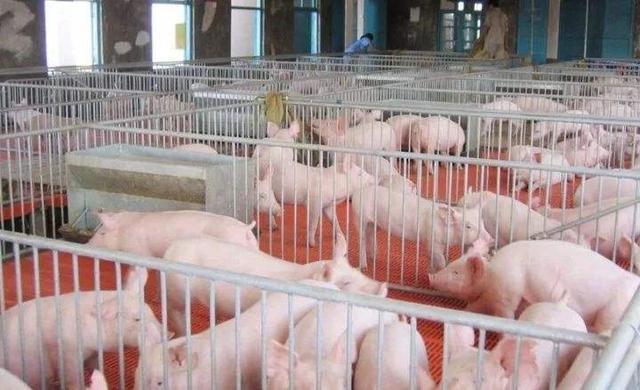 学会这3项春季猪群的饲养管理方法,让你的猪场不再发病