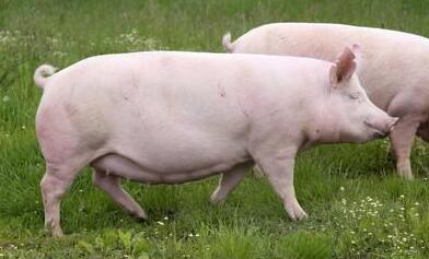 如何才能让母猪多产仔?这7个因素一定要注意