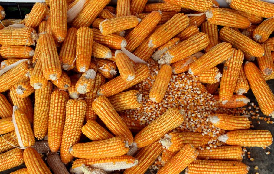 2月22日全国玉米价格行情表,玉米市场延续疲软态势,跌价地区多于涨价地区!