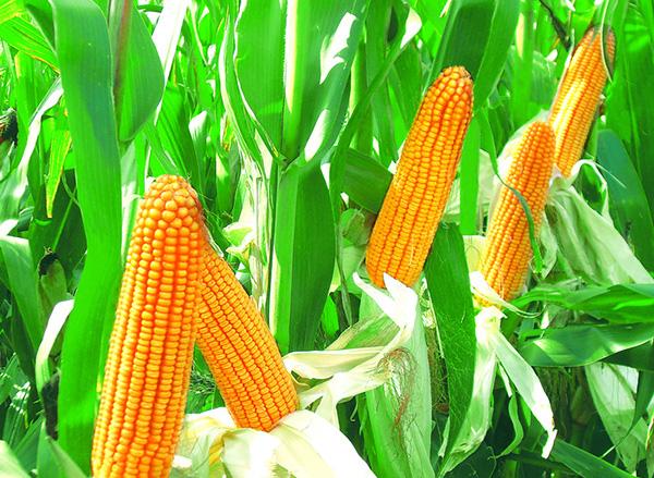 2月23日全国玉米价格行情表,全国玉米市场价格涨跌互现震荡调整!