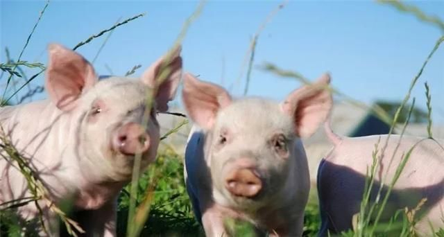 仔猪价格率先暴涨至2000元,温氏开始抢仔猪,释放了什么信号?
