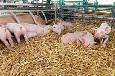 产仔数多的母猪后代是否也具有产仔多的繁育能力?如何提高母猪产仔数?
