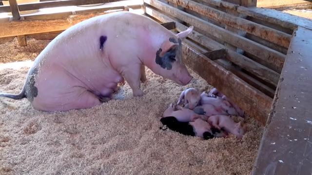 中国猪肉需求将回升,美肉类供应商盼加大对华出口!越南下调猪价