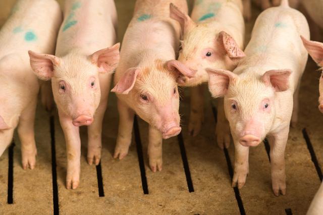 压价博弈?今日收猪价格一涨再涨!