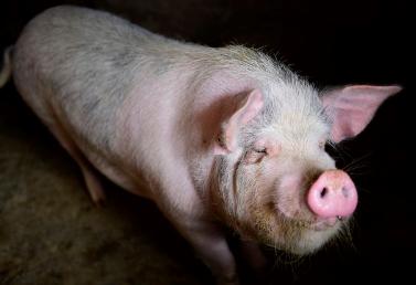 重磅:抗非新发现!秘密就在猪的这个器官!