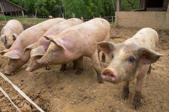 养猪大县陆川:疫情期间引种生猪3000多头,出栏生猪2万多头