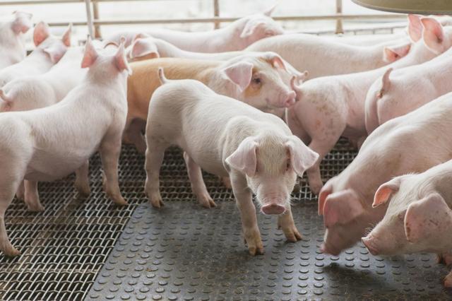 养猪业的未来是无抗养猪?养猪人你怎么看?