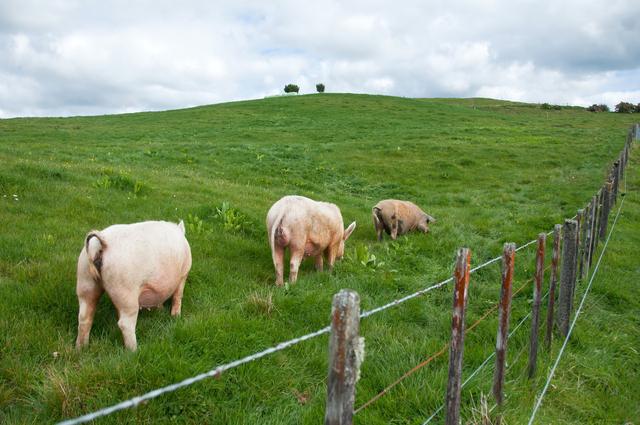 生猪存栏量稳步回升,大型养殖场继续抢市场,小型养殖场面临挤压