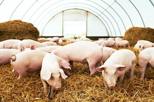 """初春丨猪群咳嗽、部分发烧?正确的快速""""防治方案"""""""