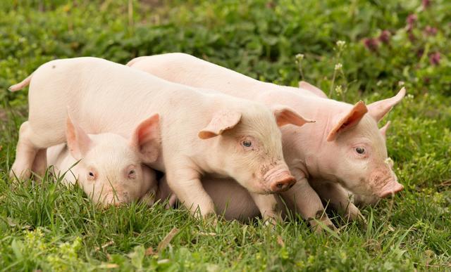 """养猪:气温渐高,阳气生发,猪群春季""""养肝""""正当时"""
