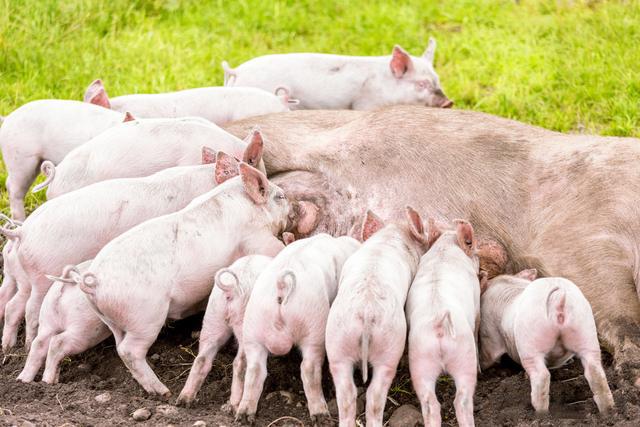为什么有的猪场越养越差?即一个畜牧者的心声:养殖三大怪象