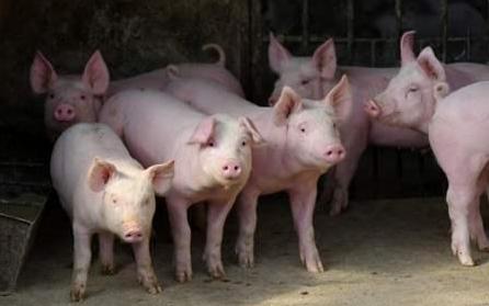猪价上涨,仔猪突破千元关口,现在能否补栏入市?看看养猪户咋说