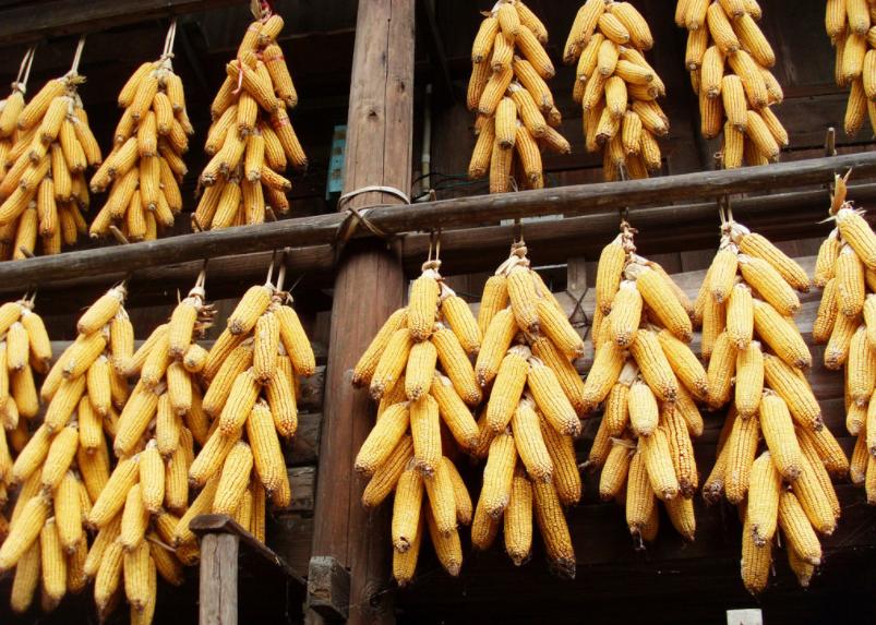 2月26日全国玉米价格行情表,今日玉米市场继续维持弱势运行,价格整体跌势放缓!