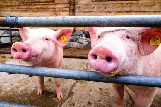2月26日全国生猪价格内三元报价表,今日内三元北方的涨价逐渐开始向南方扩展