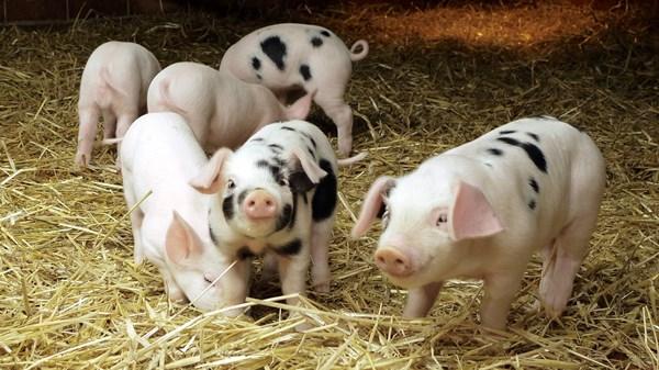 猪伪狂犬的症状和脑炎型链球菌都有哪些危害?