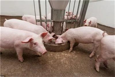 这几种饲料应该这样喂猪,不然喂错了可就白喂了