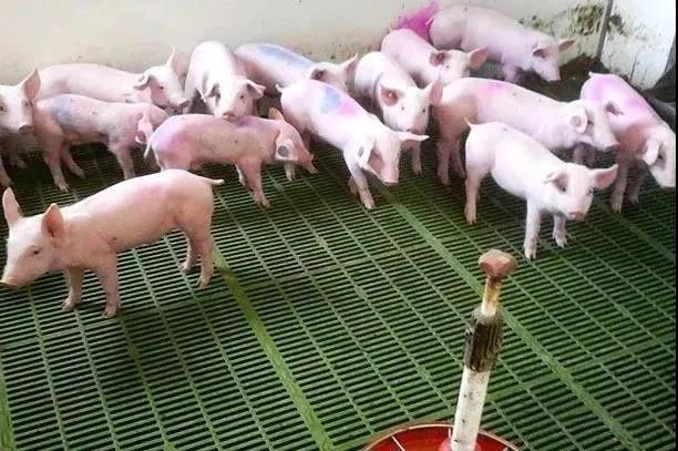成功管理断奶仔猪的简单方法