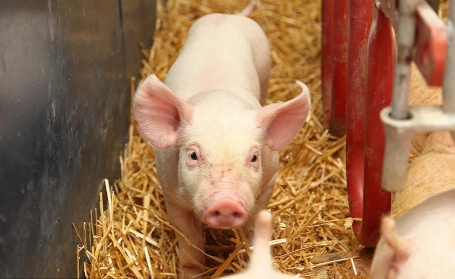 2019年末山东能繁母猪存栏200.6万头