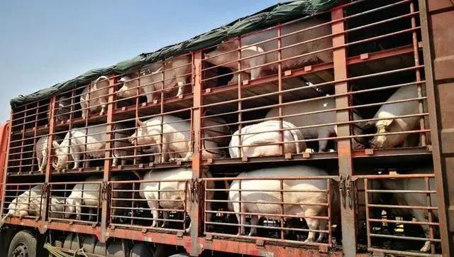 2月27日全国生猪价格内三元报价表,今日全国范围内三元猪价上涨和下跌省份均减少!
