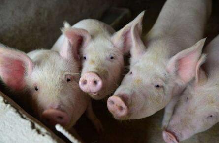 受新冠肺炎影响,疫情下生猪稳产保供记!