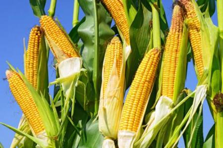 """玉米局部""""补涨"""" 或难改后市下跌趋势"""