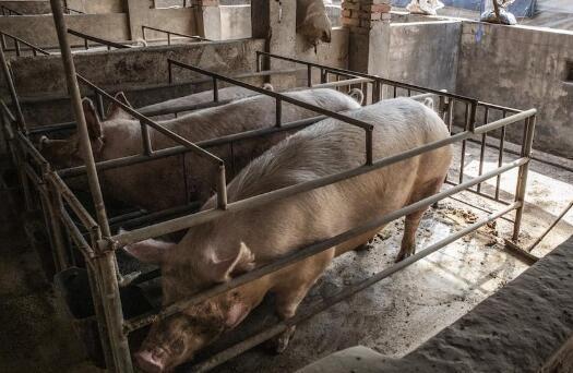 印尼发生非洲猪瘟疫情 近2000头猪死亡