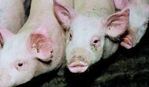 猪传染性鼻炎预防与治疗要点,你掌握了多少?