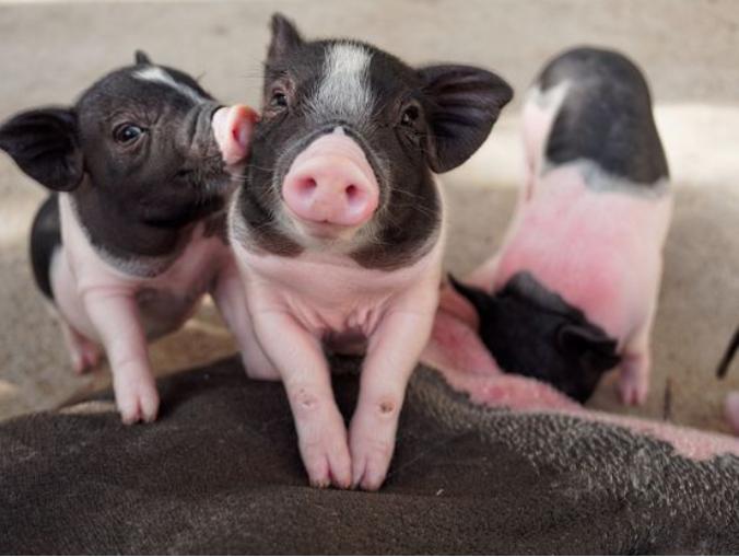 新冠肺炎疫情下,猪的冠状病毒性疾病不容小觑!