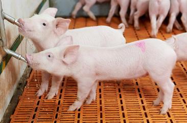 猪场生物安全的5大管理内容