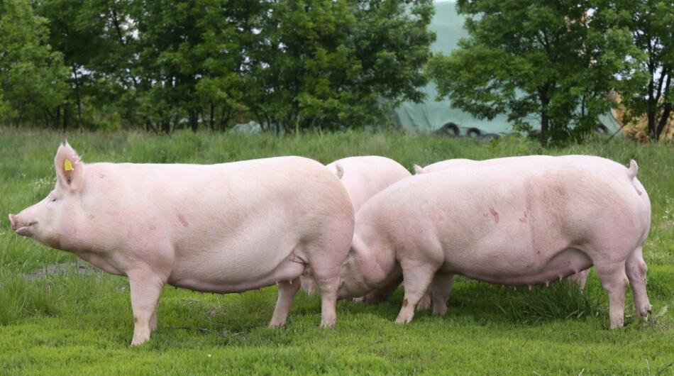 2月29日全国各地区种猪价格报价表,今日河南省长葛市二元母猪有所上涨!