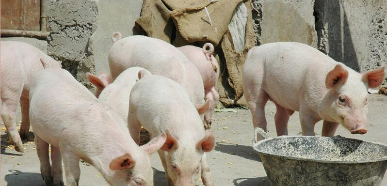 2月29日全国生猪价格外三元报价表,今日外三元持续下跌,均价跌至36.67元每公斤