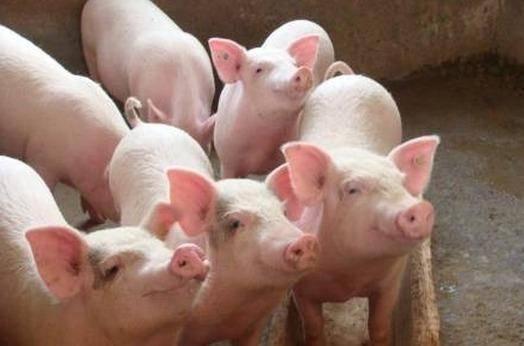 仔猪价格疯狂涨!温氏、牧原等企业鼓励外购仔猪释放了什么信号?
