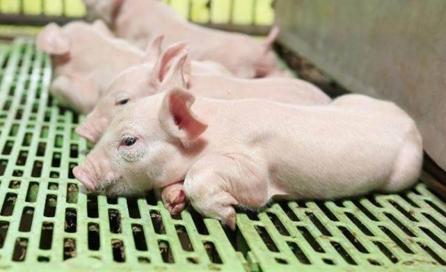 价值好几千的仔猪有毛病?可能是这个细节有问题!