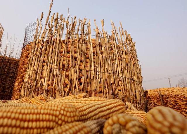 3月1日全国玉米价格行情表,国内玉米价格均出现了大幅度回落!