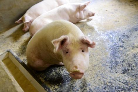 """复盘""""非典"""" 预测新冠对当前生猪市场的影响"""