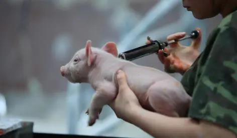 非洲猪瘟疫苗创制成功是真是假?别急着辟谣,听听业内专家怎么说