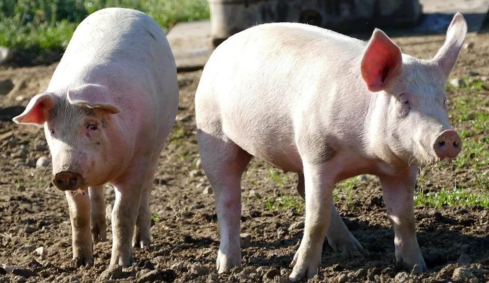 北方猪企提价现象增多,整体态势依旧呈现跌涨调整