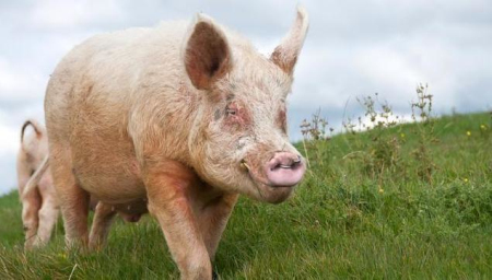 2019年我国猪肉产量下降21% 养猪依然大有可为!