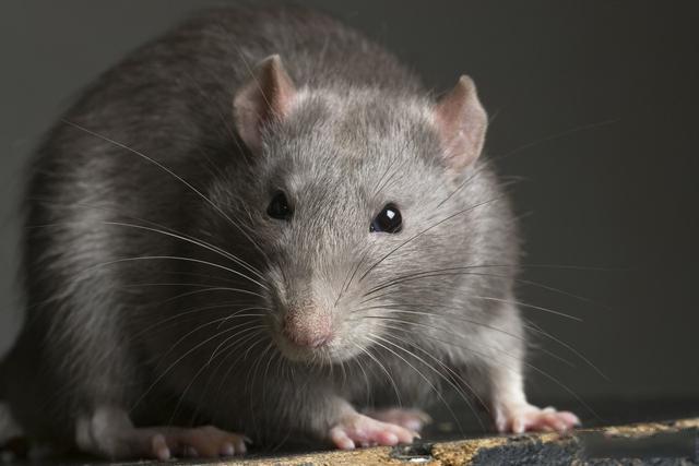 防鼠墙、石子防鼠带、鼠盒、5S....规模猪场生物安全建设之防鼠